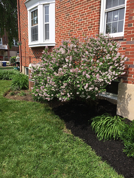 mulch-with-lavender-bush